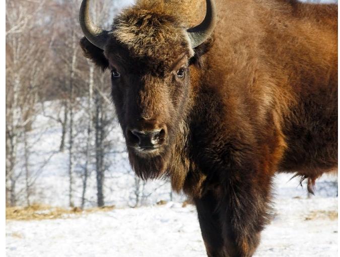 Американские Лесные Бизоны в Якутии